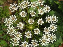 Anason (Pimpinella anisum L.)