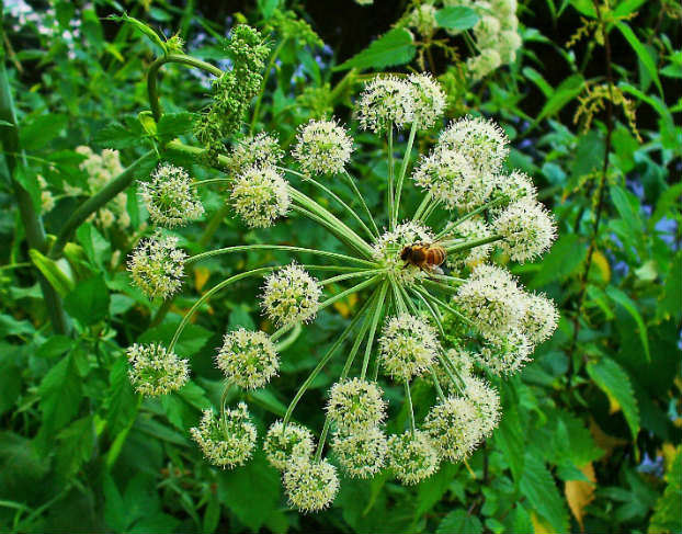 Angelica (Angelica archangelica L.)