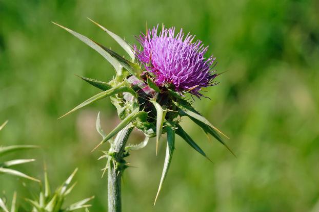 Armurariu (Silybum marianum Gaertn.)