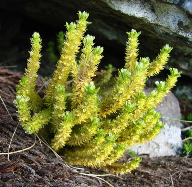 Bradisor (Huperzia selago L.)