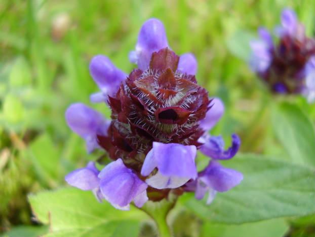 Busuioc salbatic (Prunella vulgaris L.)