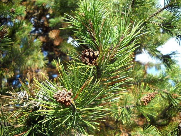 Jneapan (Pinus mugo L.)