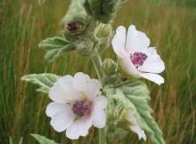 Nalba mare Althaea officinalis L.