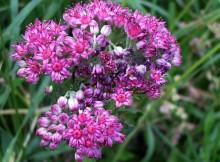 Norocel (Sedum telephium L.)