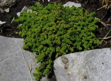 Feciorica (Herniaria glabra L.)