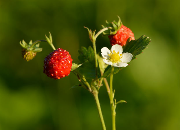 Frag (Fragaria vesca L.)