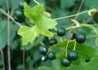 Mutatoare (Bryonia alba L.)