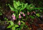 Mutulica (Scopolia carniolica Jacq.)