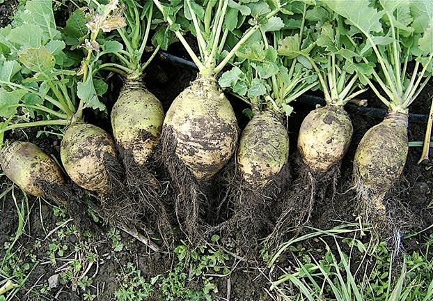 Nap (Brassica napus L. var. napobrassica)