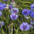 Albastrita (Centaurea cyanus L.)
