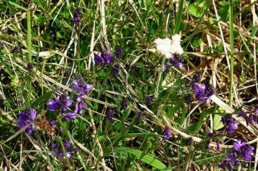 Amareala (Polygala amara L.)