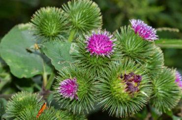 Brusture (Arctium lappa L.)