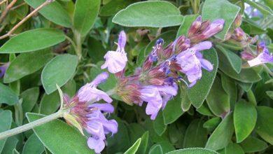 Jales de gradina (Salvia officinalis L.)