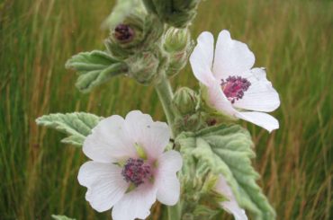 Nalba mare (Althaea officinalis L.)
