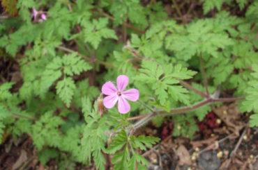 Napraznic (Geranium robertianum L.)