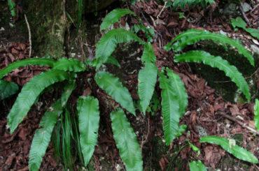 Navalnic (Phyllitis scolopendrium L.)