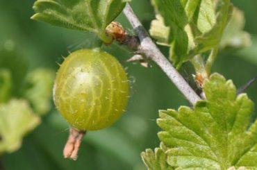 Agris (Ribes uva-crispa L.)