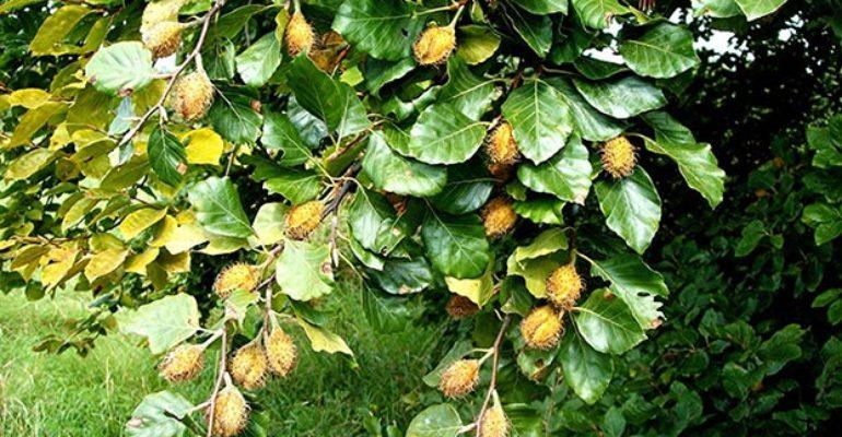 Fag (Fagus sylvatica L.)