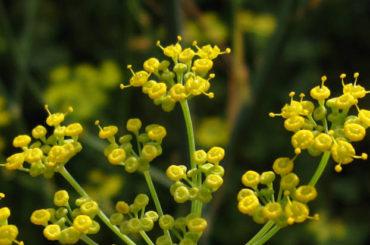 Fenicul (Foeniculum vulgare Mill.)