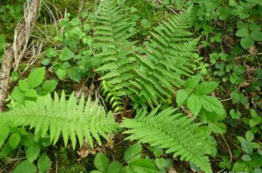 Feriga (Dryopteris filix-mas L.)