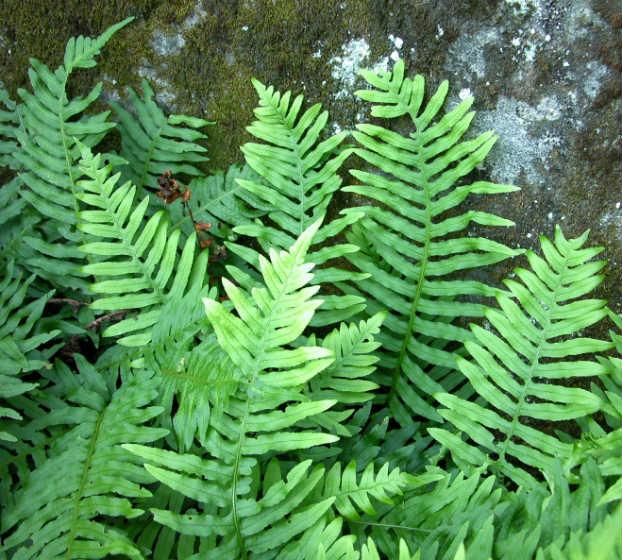 Feriguta dulce (Polypodium vulgare L.)