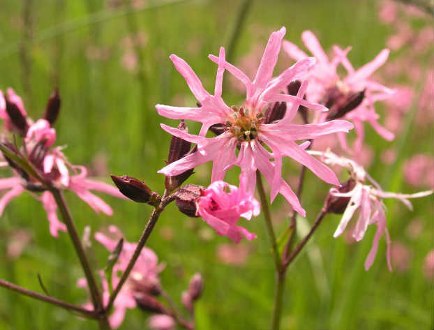 Floarea cucului (Lychnis flos-cuculi L.)