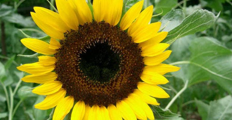 Floarea soarelui (Helianthus annuus L.)