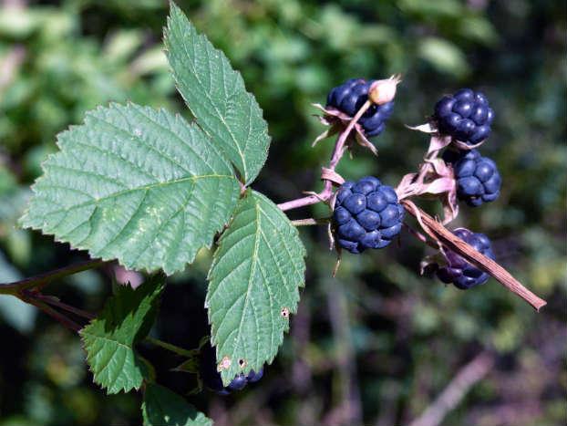 Mur (Rubus caesius L.)